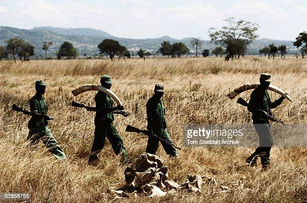 Park rangers who earn $7000 per month at Mikumi National Park Tanzania pass by remains of a poached elephant whose tusks would be worth thousands of...