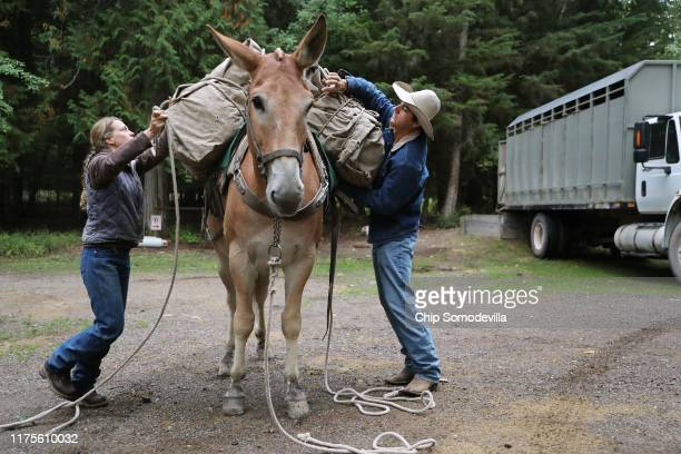 S Park Service Animal Packers Jill Michalak and Jacob Ellis load gear supplies and 585 twoyearold whitebark pine seedlings onto mules for the journey...