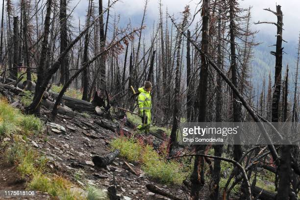 Park Service Biological Science Technician Teresa Byrd looks for a good microclimate where she can plant a whitebark pine seedling among trees killed...