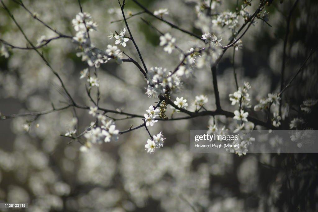 Park Spring Sunshine Cherry Blossom : Stock-Foto