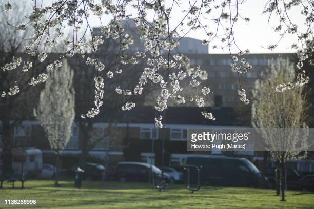 Park Spring Sunshine Cherry Blossom