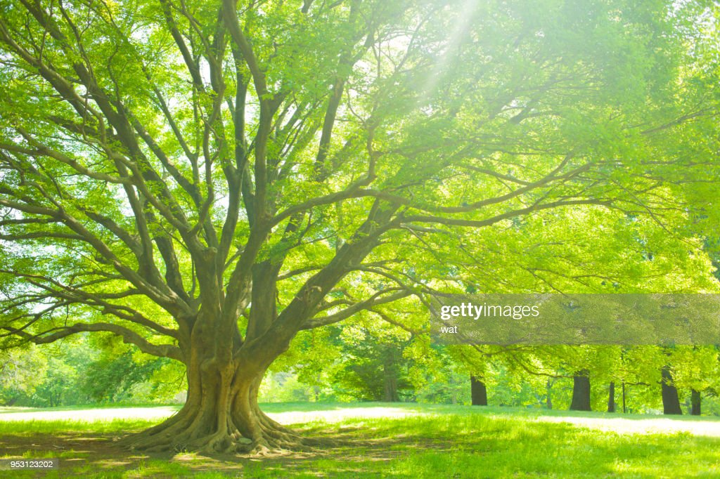 Park tree : Stock Photo