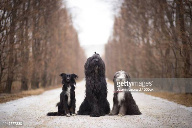 park walk gang - briard stock photos and pictures