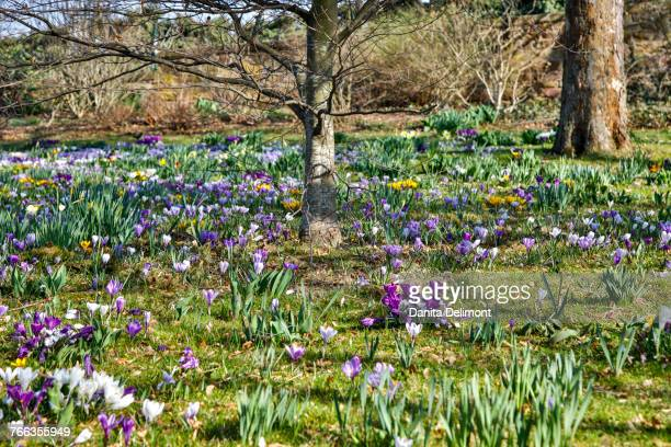 Park with lawn covered with crocuses, Bad Durkheim, Germany