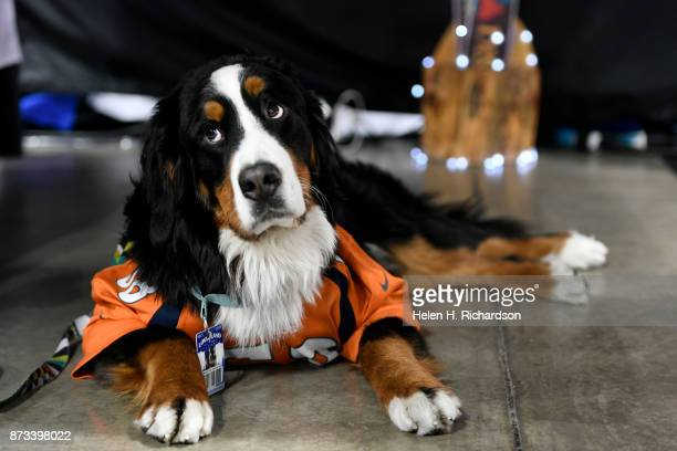 DENVER CO NOVEMBER 12 Parker the Loveland Ski Area mascot relaxes on the floor during the 26th annual Colorado Ski and Snowboard Expo at the...