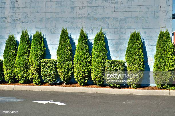 parking and italian cypress at tillamook - italian cypress stock photos and pictures