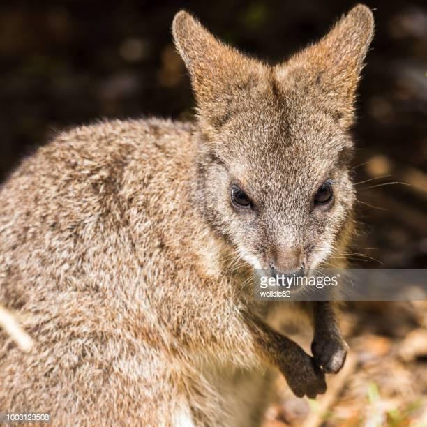 parma wallaby foraging - marsupial imagens e fotografias de stock