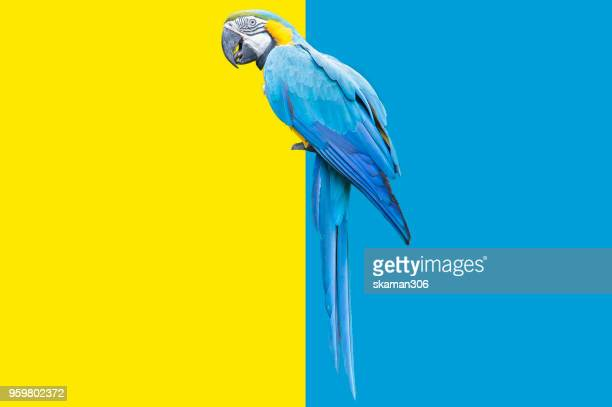 parrot bird with two color background - parrot stock pictures, royalty-free photos & images