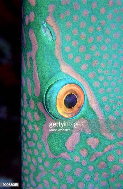 parrot fish: cetoscarus bicolor  eye  st. johns reef, red s ea