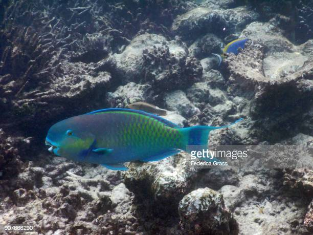 Parrot Fish On Maldivian Coral Reef