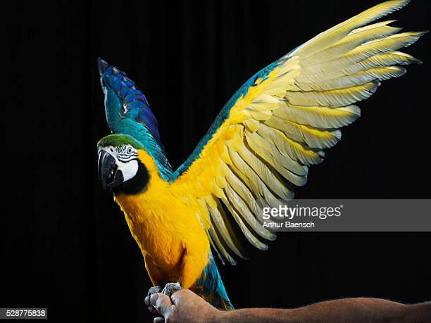 parrot flapping wings - one man only stock pictures, royalty-free photos & images