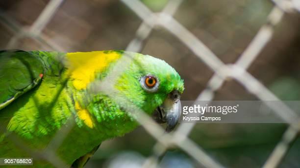 parrot in cage seen through chainlink fence - papagayo guanacaste fotografías e imágenes de stock