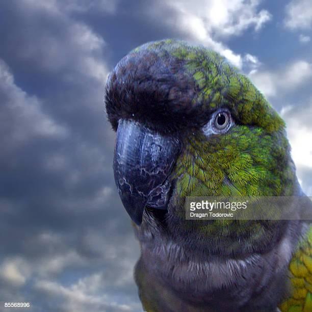 Parrot looking away, close-up