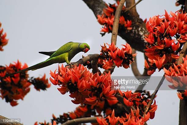 A parrot on a Palash tree Bangladesh February 11 2009