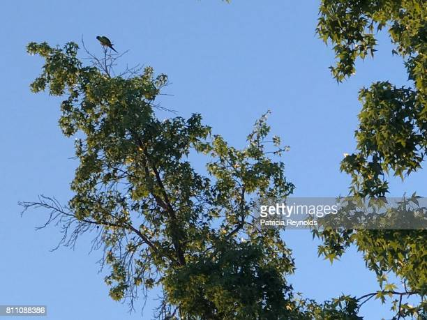 parrot on a tree in agoura hills, ca, usa on a summer day. - アゴーラヒルズ ストックフォトと画像