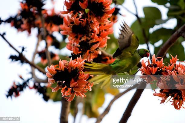 A parrot on Palash Flowers during spring Dhaka Bangladesh