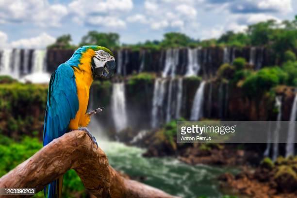 parrot on the background of iguazu falls. argentina. traveling south america. - pájaro tropical fotografías e imágenes de stock