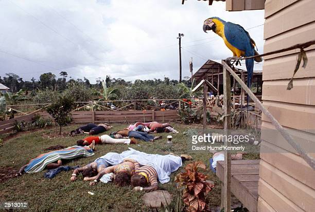A parrot one of the only survivors of Jonestown looks down at dead bodies at the compound of the People's Temple cult November 18 1978 in Jonestown...
