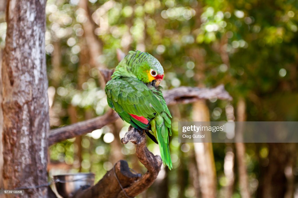 Parrot perching on twig, Aktun Chen Parque Natural, Riviera Maya, Mexico : Stock Photo