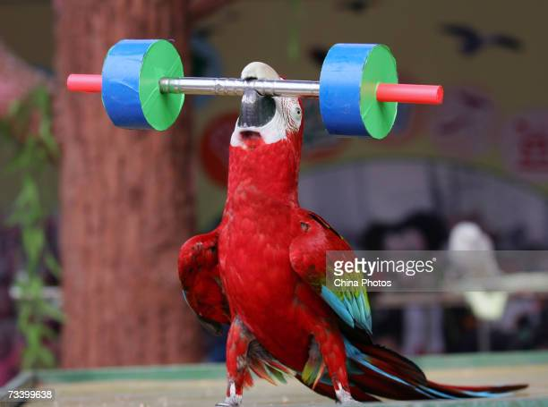 A parrot performs weight lifting at the Wuhan Bird Song Park on February 22 2007 in Wuhan of Hubei Province China