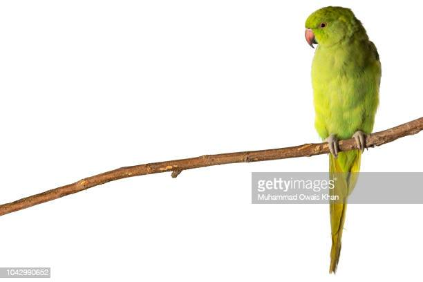 parrot - perching stock pictures, royalty-free photos & images