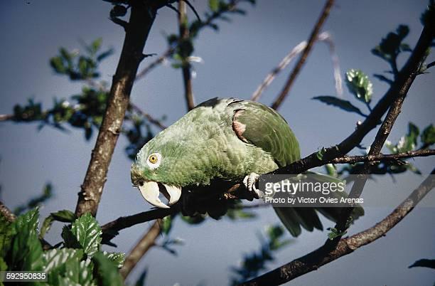 parrot - victor ovies fotografías e imágenes de stock
