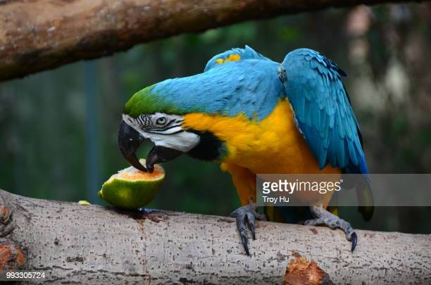 parrot - troy parrott stock pictures, royalty-free photos & images