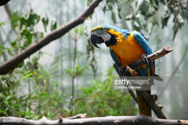 parrot - christina felschen stock photos and pictures
