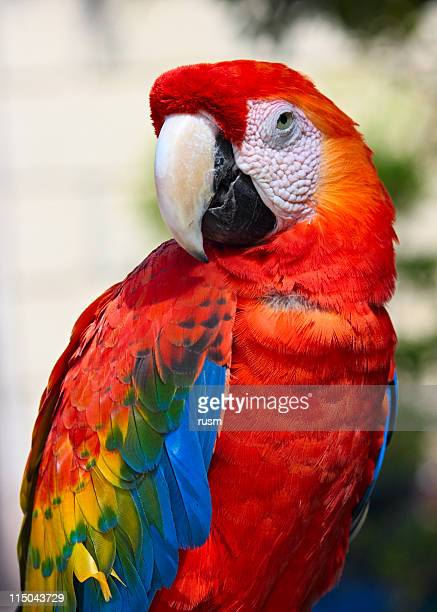 parrot portrait - scarlet macaw stock pictures, royalty-free photos & images