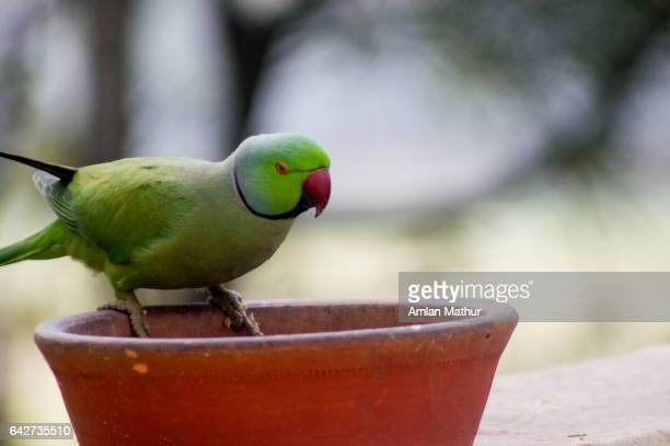 Parrot sitting on an earthenware dish