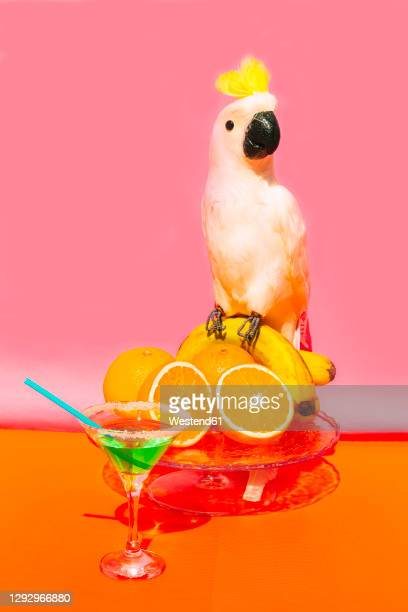 parrot sitting on fruit against pink background - um animal imagens e fotografias de stock