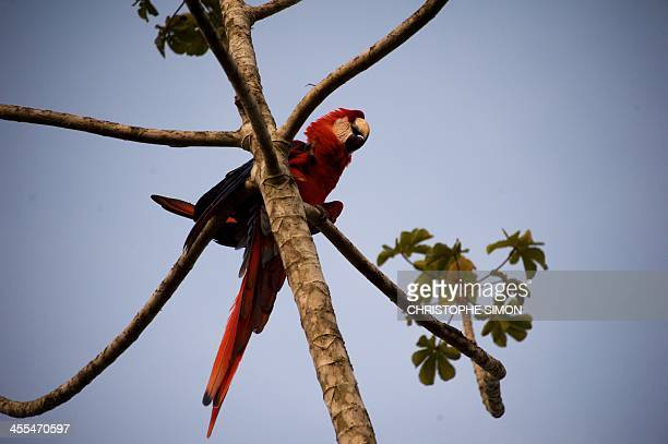 A parrot sleeps on a tree in the Ecopark of Manaus on 11 December 2013 Brazil Manaus will host FIFA Word Cup Brazil 2014 football matches AFP PHOTO /...