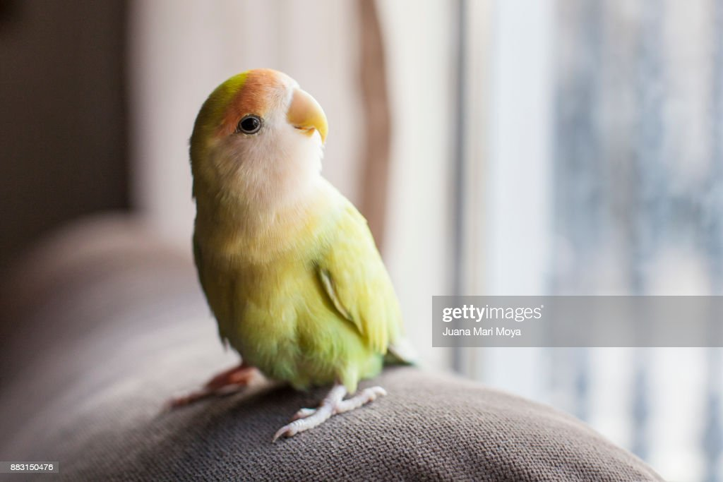 Parrot staring out the window : Stock-Foto