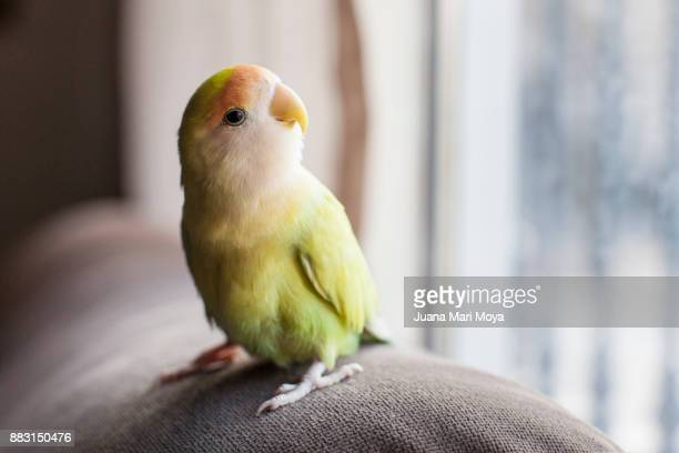 parrot staring out the window - bird stock photos and pictures