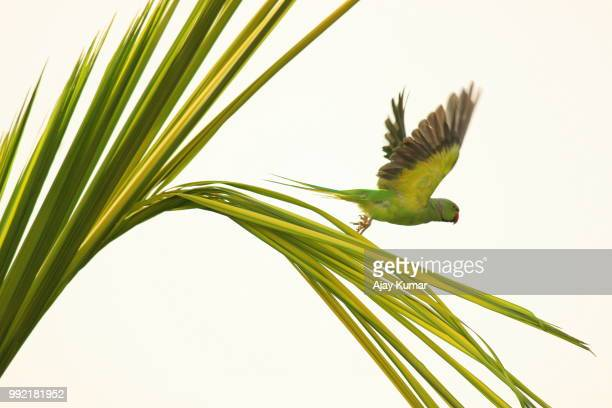 parrot taking off from a palm tree - parakeet stock photos and pictures