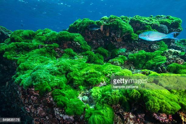 Parrotfish on algae bed, Thailand