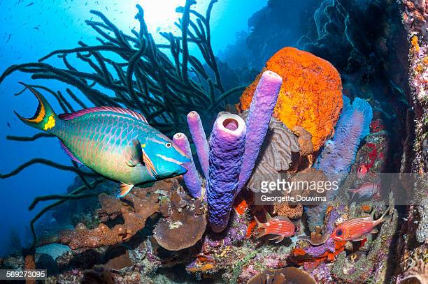 Parrotfish over coral reef
