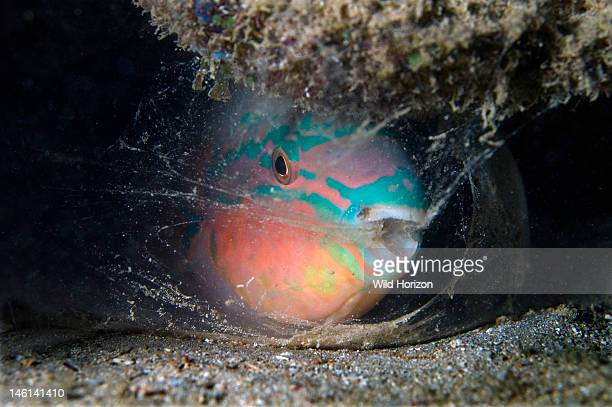Parrotfish producing a mucous nightgown secreted from the mouth Scarus taeniopterus Curacao Netherlands Antilles Digital Photo