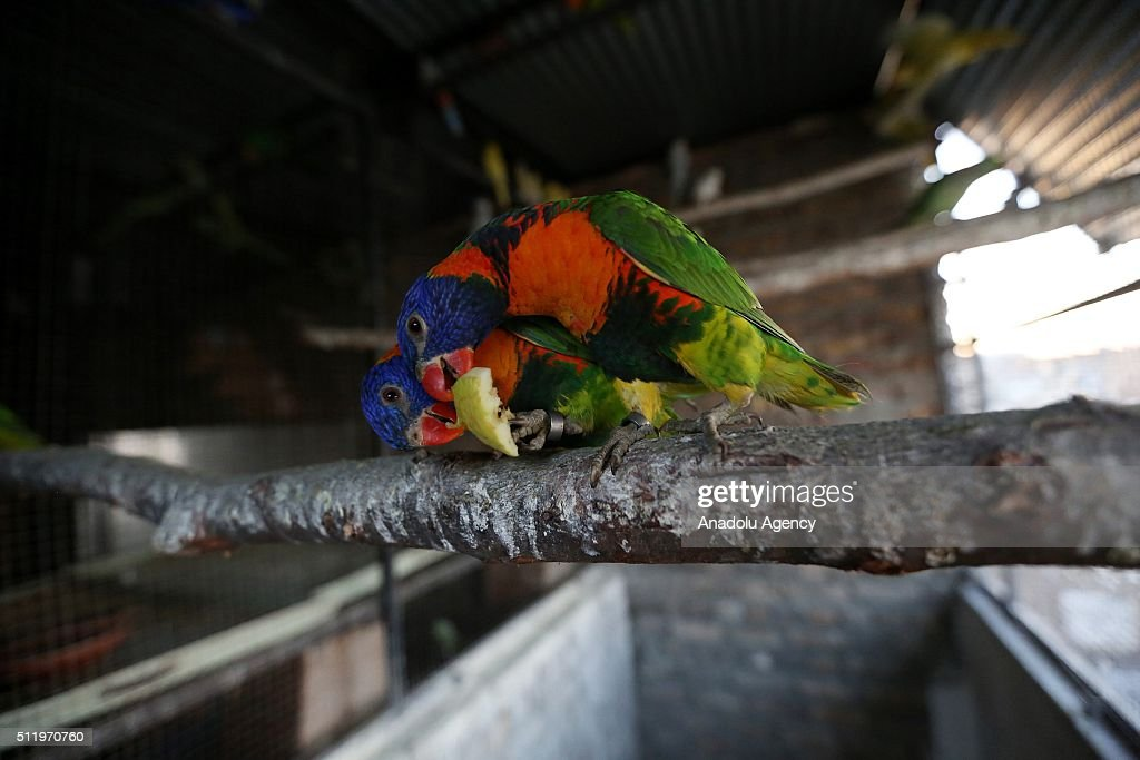 Parrots are seen at a cage at the 27-years-old Pakistani man Talal