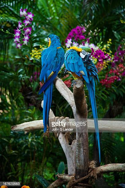Parrots at Jurong Bird Park - a world-famous bird zoo wherein there are specimens of magnificent bird life from around the world, including a flock...
