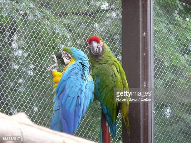 Parrots In Cage