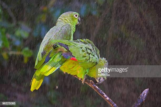 Parrots in rain