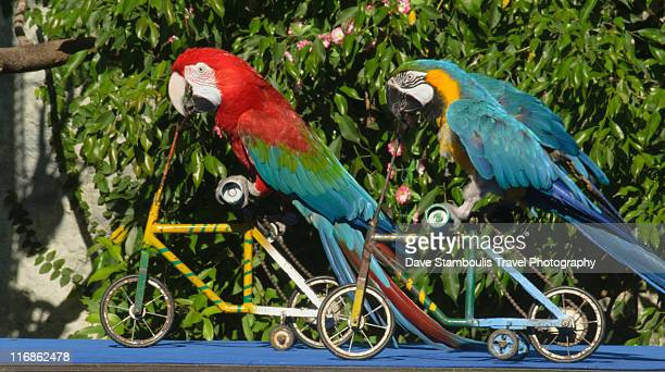 parrots (ara ararauna) racing bicycles - velo humour photos et images de collection
