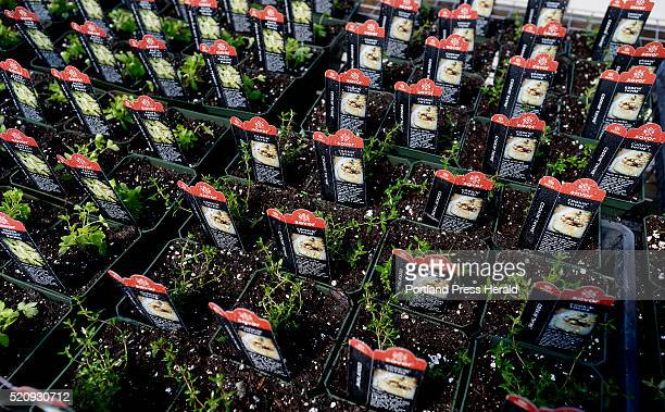 Parsley and Thyme at Moody's Nursery and Garden Center in Saco Saturday April 9 2016