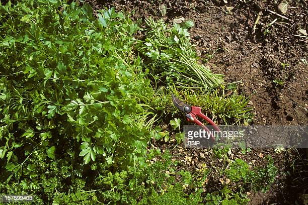 Parsley Cultivation To Favor The New Growth The Parlsey Must Be Trimmed Regularly