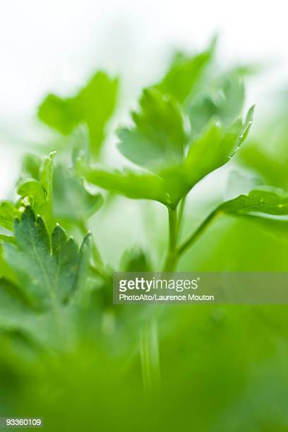 parsley growing in vegetable garden, close-up - flat leaf parsley stock pictures, royalty-free photos & images