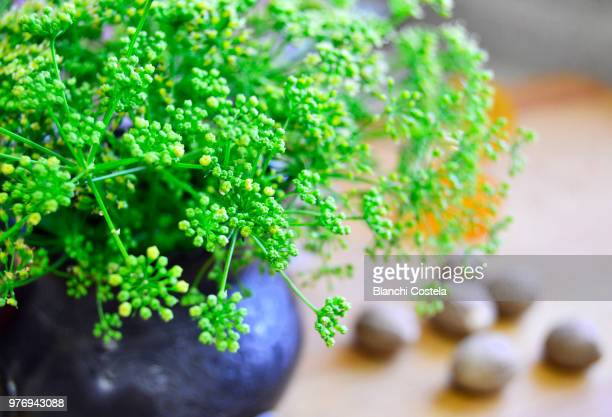 Parsley in bloom in a small vase