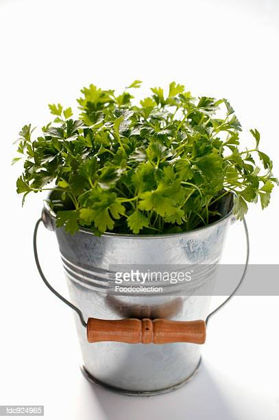 parsley in metal bucket - flat leaf parsley stock pictures, royalty-free photos & images
