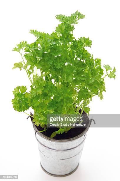 parsley in metal pot, elevated view - peterselie stockfoto's en -beelden