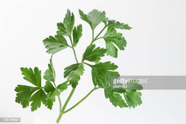 parsley - flat leaf parsley stock pictures, royalty-free photos & images